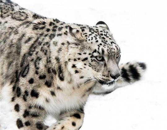 Snežná leopardica recenzia: Poetické hľadanie rovnováhy a blaženosti